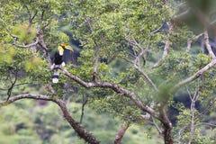 stor hornbill Royaltyfri Fotografi