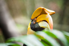 Stor hornbill (Bucerosbicornis), också som är bekant som den stora Indien Royaltyfri Foto