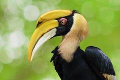 Stor hornbill (Bucerosbicornis), också som är bekant som den stora indiska hornbillen eller stor pied hornbill Fotografering för Bildbyråer