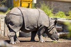 stor horned indones en noshörning Arkivbild