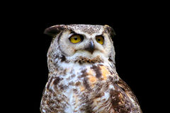 stor horned isolerad owl Royaltyfria Foton