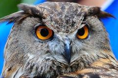 stor horned owl arkivbilder