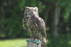 stor horned owl Royaltyfria Bilder