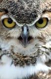 stor horned owl Arkivfoto