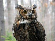 stor horned owl Arkivbild