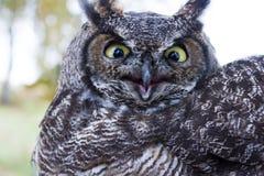 stor horned owl royaltyfri bild