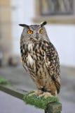 stor horned owl Royaltyfri Foto