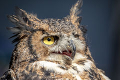 stor horned owl Arkivfoton
