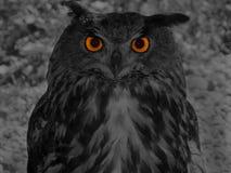 Stor horned owl (Bubobuboen) Royaltyfri Fotografi