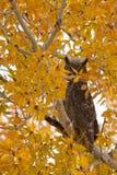 Stor Horned Owl, Bubovirginianus Royaltyfria Foton