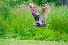 stor horned owl för flyg royaltyfria foton