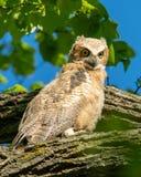stor horned owlet Arkivbilder