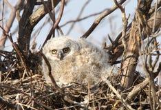 stor horned owlet Royaltyfri Bild