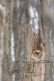 stor horned owlet Fotografering för Bildbyråer