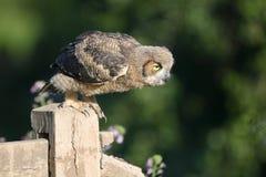 stor horned owlet Royaltyfri Foto