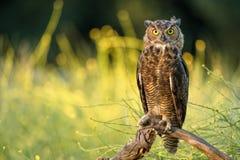 stor horned owlet Royaltyfria Bilder