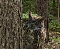 Stor Horned uggla Arkivfoton