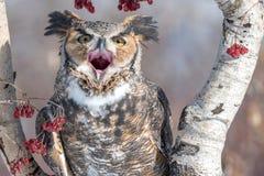 Stor Horned uggla med den öppna munnen arkivfoto