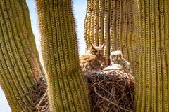 Stor Horned uggla och att behandla som ett barn i kaktus fotografering för bildbyråer