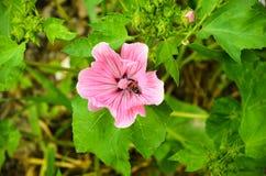 Stor härlig closeup för rosa färgblommaLavatera Fotografering för Bildbyråer