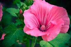 Stor härlig closeup för rosa färgblommaLavatera Royaltyfri Bild
