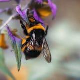 Stor humla med gula svarta band och texturerade vingar Humlaslut upp att sitta på ett blått kovete för gul purpurfärgad blomma royaltyfria foton