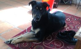 stor hund arkivbild