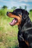 Stor hund av aveln en Rottweiler med en öppen mun Arkivfoton