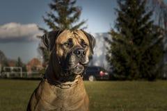 Stor hund Boerboel Royaltyfri Foto