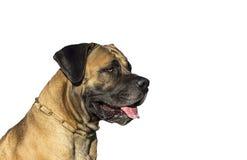 Stor hund Boerboel Arkivfoto
