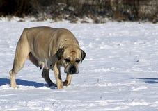 Stor hund - Boerboel Fotografering för Bildbyråer