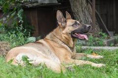 Stor hund för skydd hemma arkivfoton