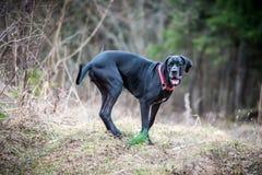 Stor hund Great dane Fotografering för Bildbyråer