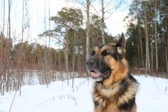 Stor hund i skogen Arkivbild