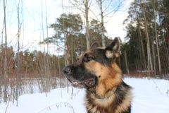 Stor hund i skogen Arkivfoton