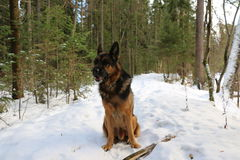 Stor hund i skogen Royaltyfri Bild