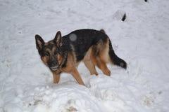 Stor hund i snö Arkivfoto