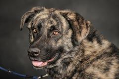 Stor hund i studio Royaltyfria Foton