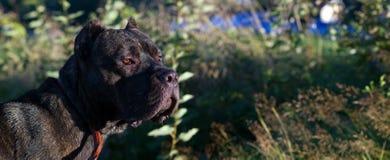 Stor hund med en allvarlig blick, panorama royaltyfria foton