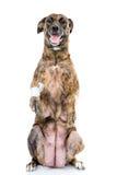 Stor hund med ett sårat ben som är stående upp på hans bakre ben isolerat Arkivbild