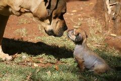 Stor hund och liten valpförälskelse Royaltyfri Bild