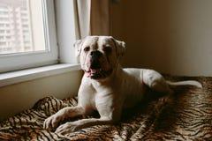 Stor hund på fönstret arkivbild