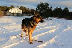 Stor hund på snö Royaltyfri Bild