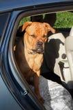Stor hund på vakten och se uppmärksamt i tillbaka slut av en bil Arkivfoto