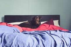 Stor hund som ligger på sängen royaltyfri foto