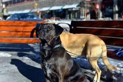 Stor hund som tyst utanför väntar för dess ägare Arkivfoton