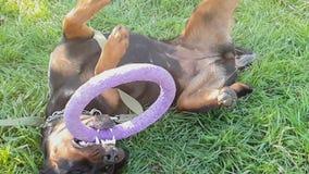 Stor hundlek med cirkelleksaken lager videofilmer