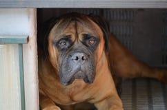 stor hundmastiff Royaltyfri Fotografi