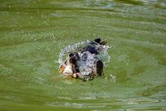 Stor hybrid- and som plaskar vatten och putsar simning på en sjö arkivbild