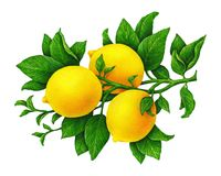 Stor illustration av härlig gul citronfrukt på en filial med gräsplansidor som isoleras på vit bakgrund grupper som tecknar spoln stock illustrationer